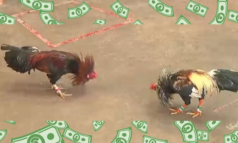 Tham gia cá cược đá gà trực tuyến tại S128